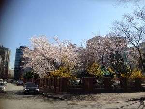 Cherry Blossom in Korea 01