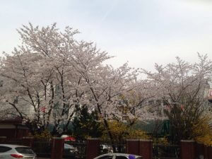 cherry blossom in korea 02