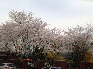 cherry blossom in korea 02