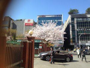 cherry blossom in korea 03