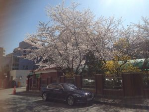 cherry blossom in korea 04