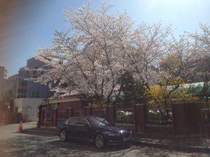 cherry blossom in korea 04